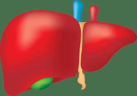 Fegato, Organo, Anatomia