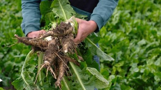 Cicoria, Chicoreewurzeln, Verdure, Root, Cibo