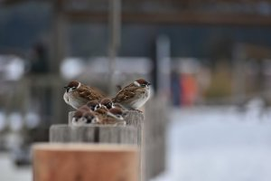 アニマル, 木, 鳥, 野鳥, 小鳥, スズメ, 季節, 冬, 雪, 寒い
