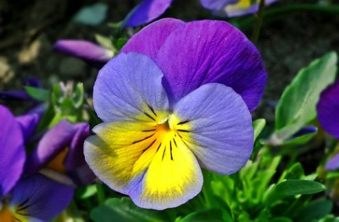 Pansy Images      Pixabay      Download Free Pictures Flower  Pansy  Plant  Nature  Leaf