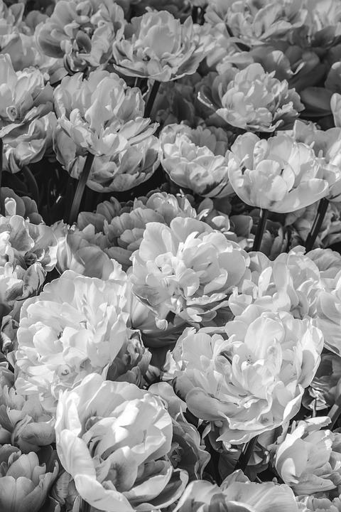Flowers Black And White Peonies      Free photo on Pixabay flowers black and white peonies flower background