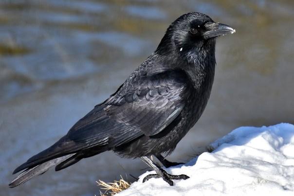 Common Raven, Raven, Crow, Snow, Cold, Raven Bird
