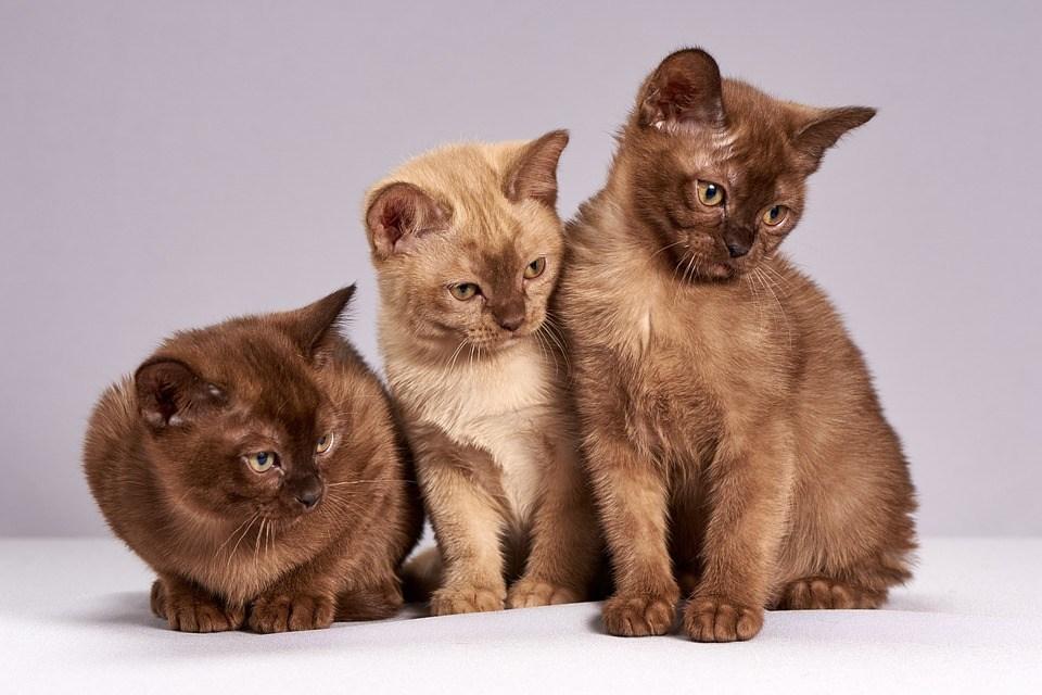 かわいい, 猫, 子猫, 動物, 哺乳類, ペット, ミャンマーの猫, 3, 探している, 興味があります