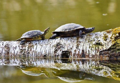 Turtles, Reptile, Tortoise Shell, Animal