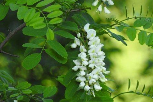 アカシア, ブッシュ, 花, 植物, 自然, ネイチャー, 白い花, 5月