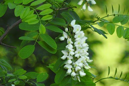 Acacia, Bush, Fleurs, Plantes, Nature