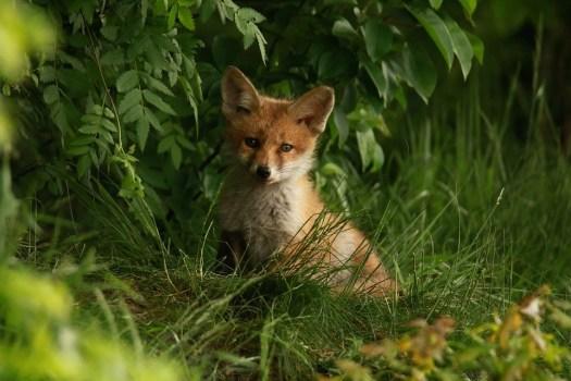Fuchs, Cucciolo, Abendstimmung, Natura, Testa Rossa