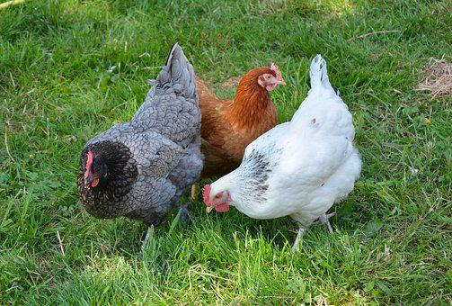 feeding chickens herbs