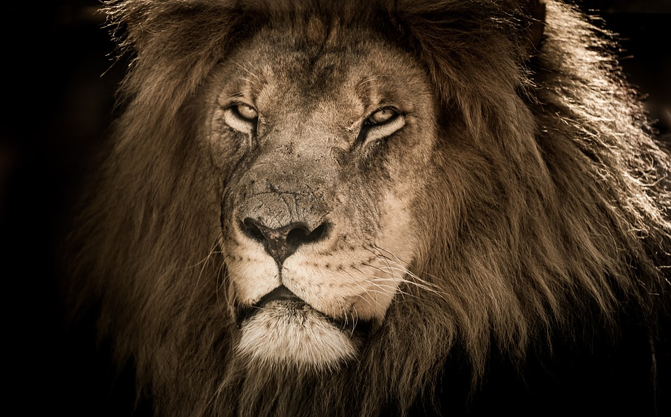 Lion Male, Africa, Mane, Carnivore, Proud, Scarred