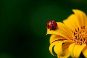 てんとう虫, 昆虫, カブトムシ, 自然, 春, ひまわり, 花, 花びら