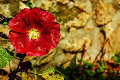 株価は上昇, 一般的な牡丹, 花, 明るい, 紫, 自然, 植物, マロー