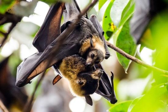 Murciélagos, Los Zorros Voladores