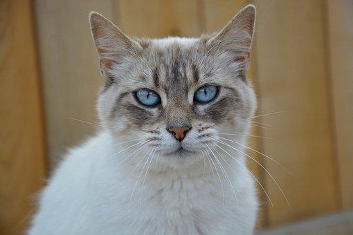 Cat Pussy Cat Portrait Blue Eyes