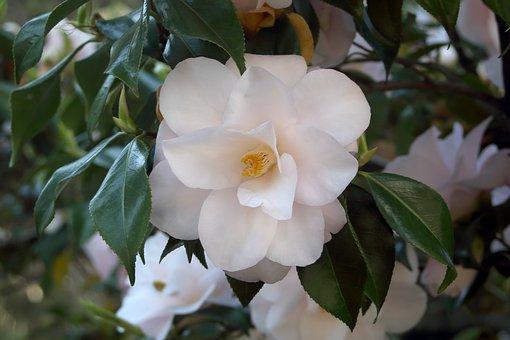 Camélia, Fleurs, Printemps