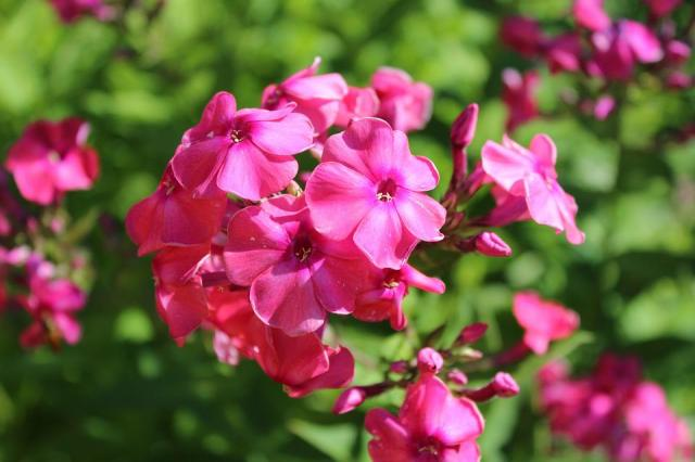 Flores Flox Flor Jardín De - Foto gratis en Pixabay