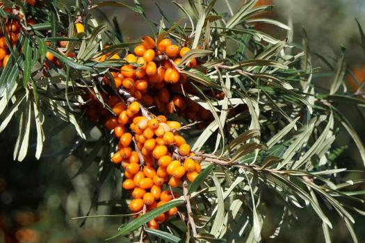 Sea Buckthorn, Berries, Fruit, Close Up, Orange