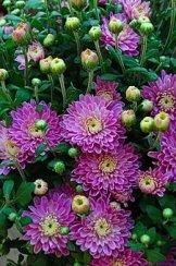 Automne, Tomber Des Fleurs, Chrysanthème