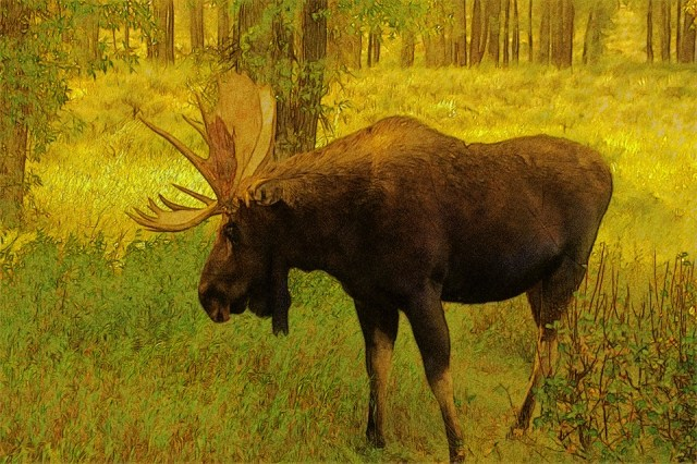 Wyoming Bull Moose, Moose, Elk, Animal, Mammal, Antler