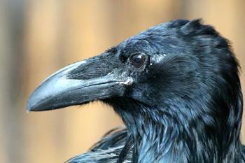 カラス, Corvus Corax, 若い, 鳥, 自然, リビング ・ ネイチャー, ブラック, マクロ