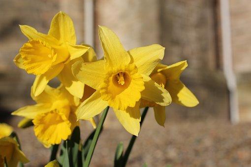 Dafodil, Flower, Daffodil, Yellow
