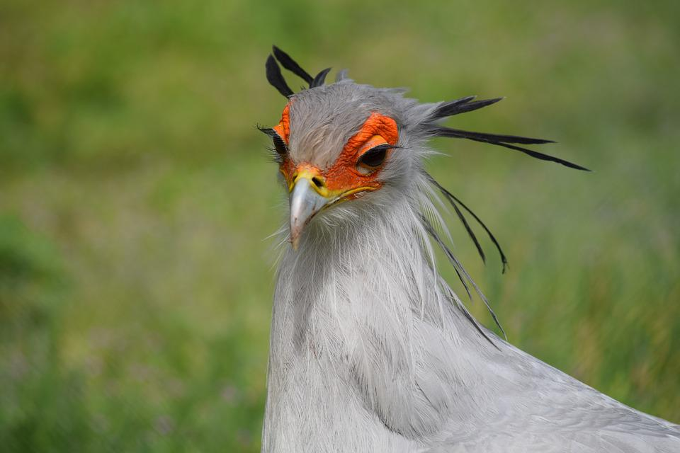 Sekreter Kuşu