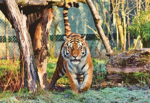 Tigre, Tigre Siberiana, Grande Gatto, Predatore