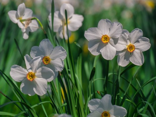 Fiori, Narcisi, Primavera, Fiore Di Primavera
