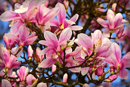 Magnolia, Fleur, Pétale, Arbre