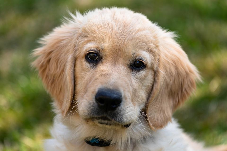 Golden Retriever, Puppy, Dog, Young, Cute, Mammal, Five