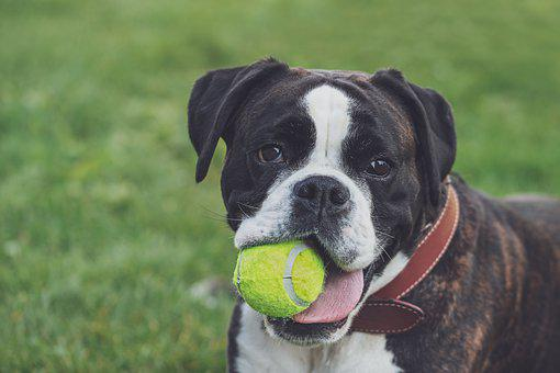 Boxer, Dog, Ball, Play, Black And White