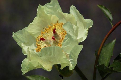 Camélia, Fleur De Camellia, Fleur, Jaune