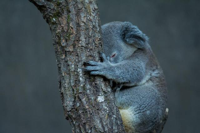 Koala, Tree, Animal, Australia, Cute, Nature