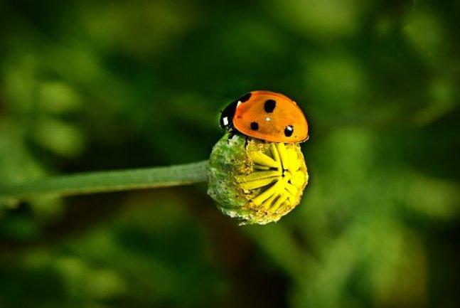 Ladybug, Beetle, Insect, Animal, Shield