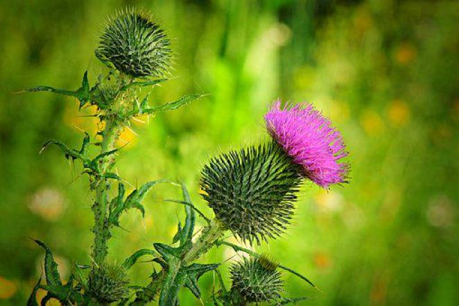 Thistle, Flower, Plant, Prickly