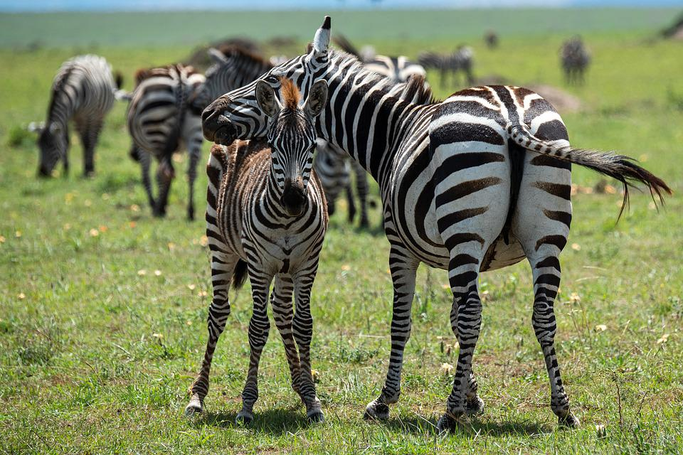 Zebra África Safari Mundo - Foto gratuita no Pixabay