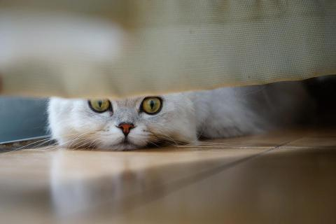 white fluffy cat with yellow eyes peeking under bed