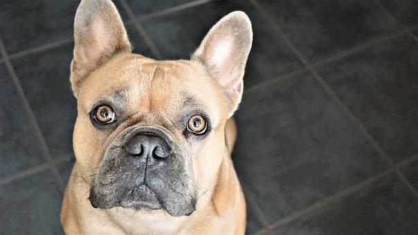 French Bulldog, Dog, Face, Portrait. Asking for treat