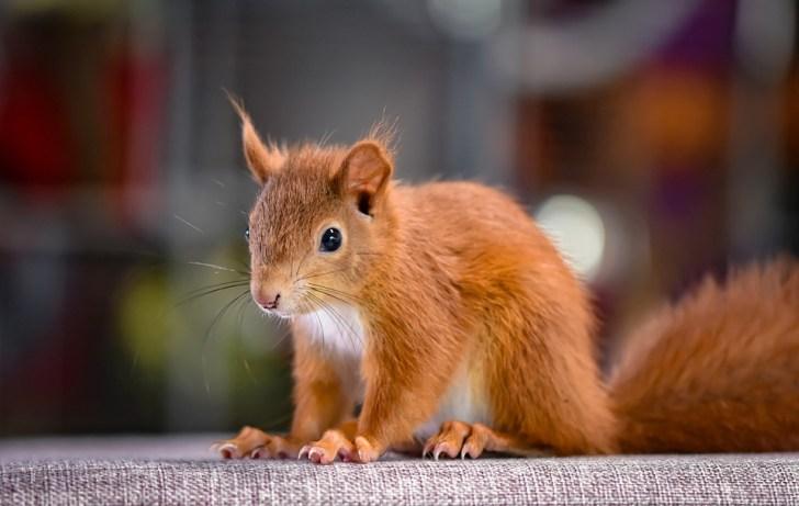 リス, 若い動物, 小, ヤング, かわいい, 齧歯動物, 毛皮のような, 座って, ボタンの目, 動物