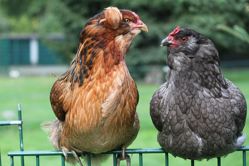 arcona chicken