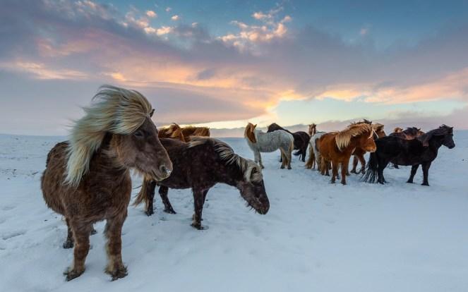 Cavalos Islândia, Inverno, Gelado, Winidg, Neve