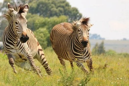 Hartmann'S, Zebra, Hartmann'S Zebra
