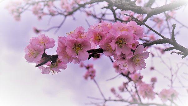 Almond Flowers, Gimmeldingen, Sachsen
