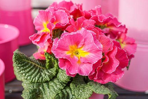 Primrose, Spring Flower, Pink, Pot