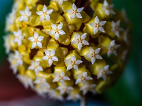 Hoya, Inflorescence, Balls, Group, Flower, Room, Plant