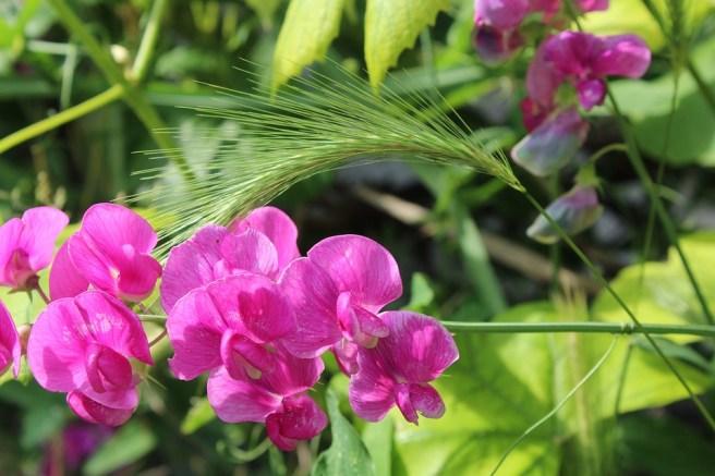 Peas, Dashing, Flowers, Garden, Summer, Nature, Plant