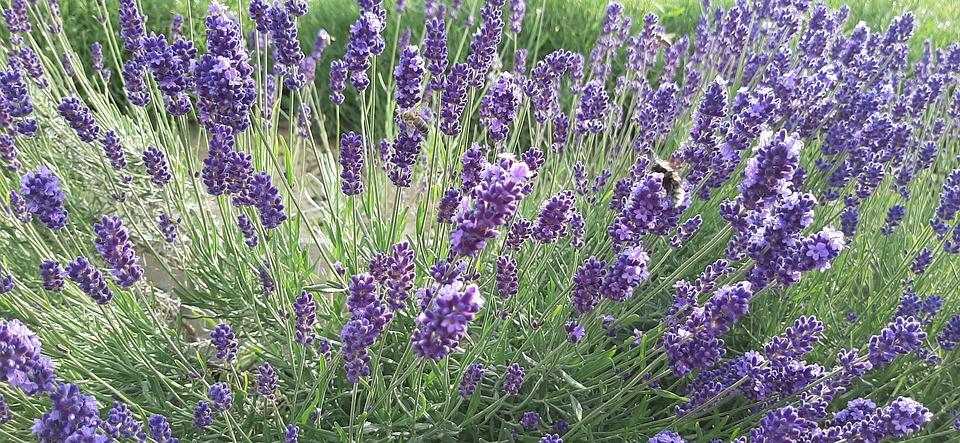 lavande sur le terrain fleurs photo