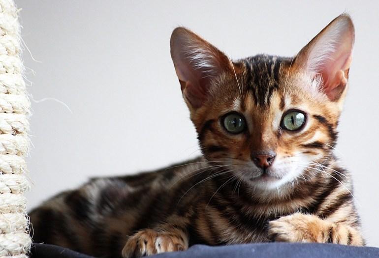 bengal cats. looks like wild animal