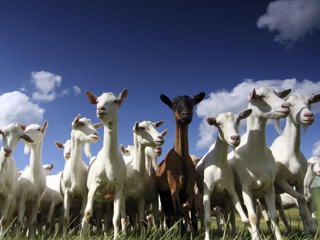 Um grupo de cabras é chamado de...