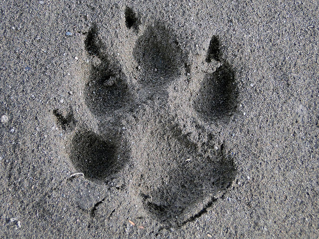 Identifying Wolf Tracks