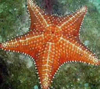 Resultado de imagem para estrela do mar